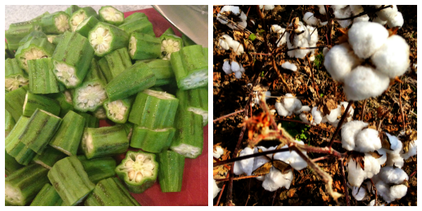 okra and cotton - related plants!