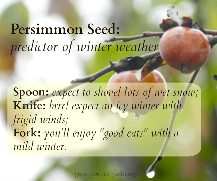 Persimmon Seed - predictor of winter weather