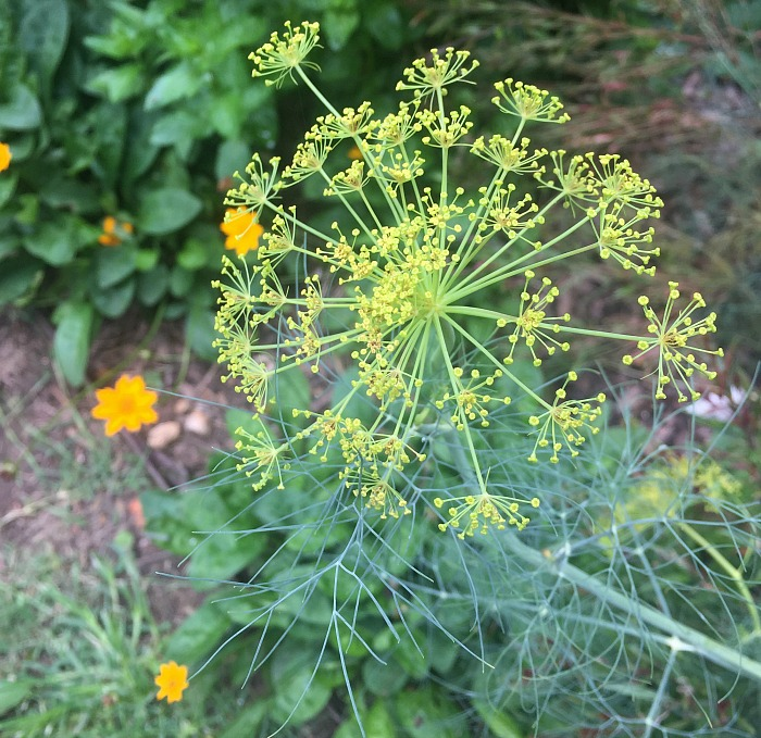 Dill going to seed