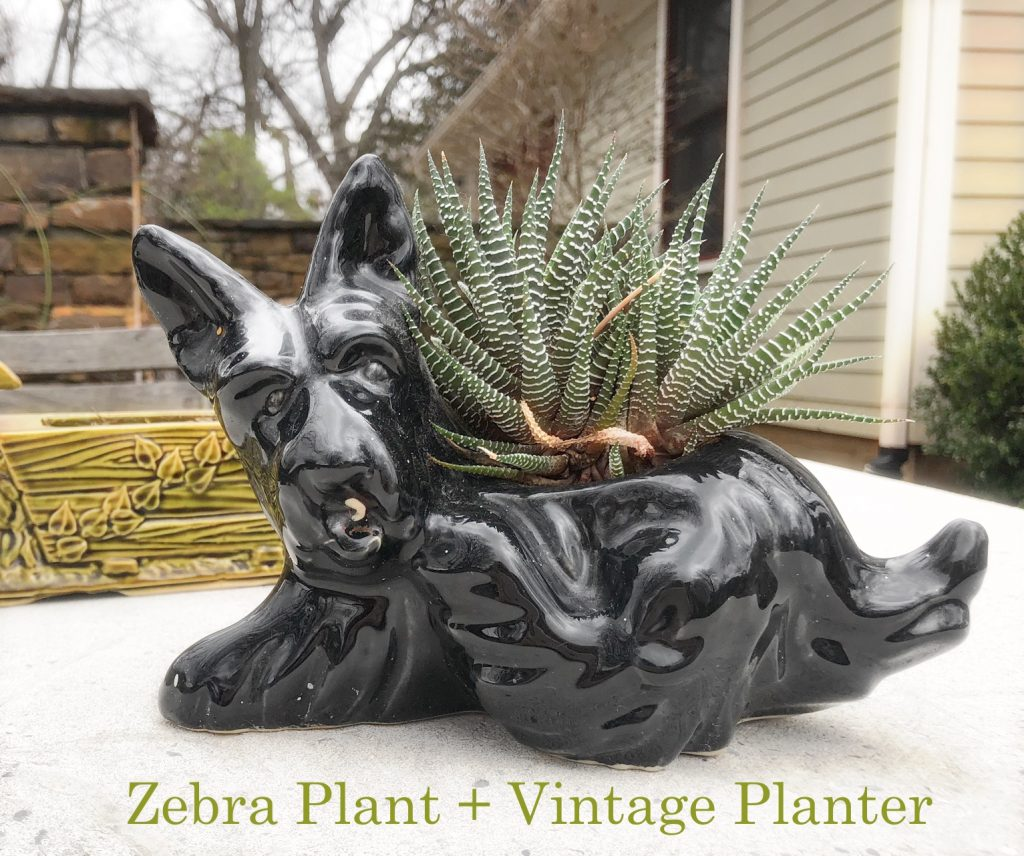 Zebra Plant + Vintage Planter