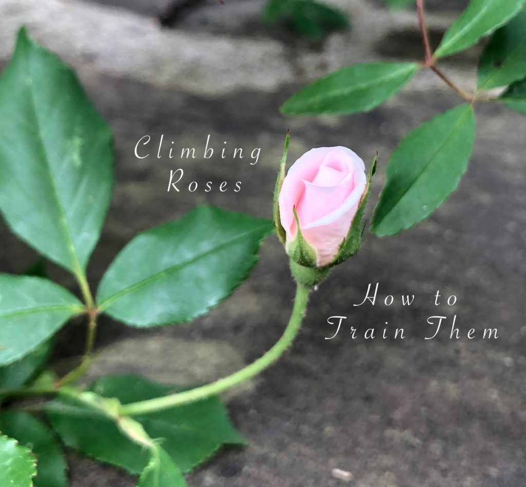 Climbing Roses. How to Train Them