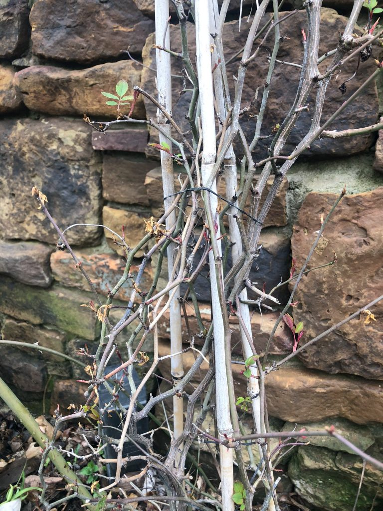 How I Trained my Climbing Roses