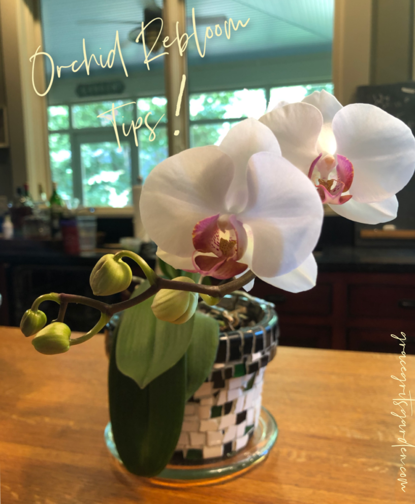 Orchid Rebloom Tips