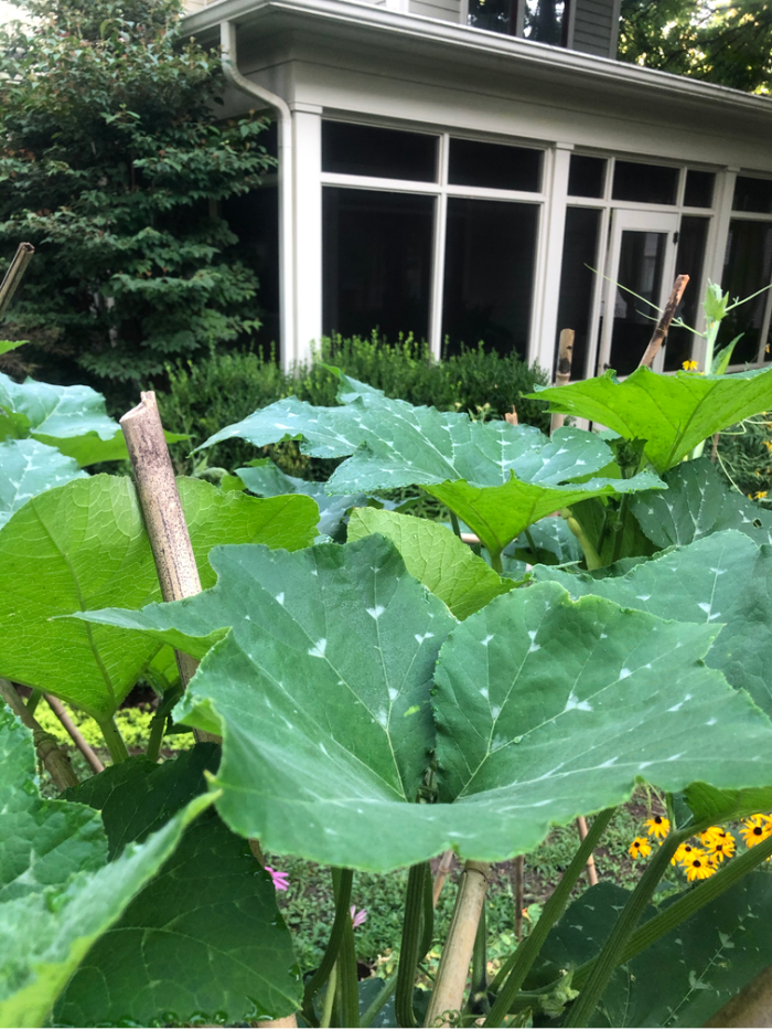 squash is growing