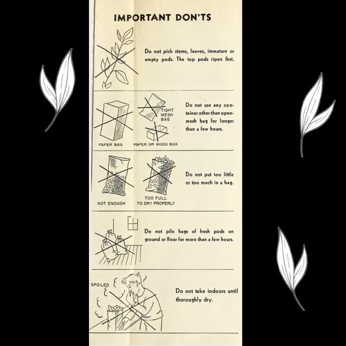 how to collect milkweed