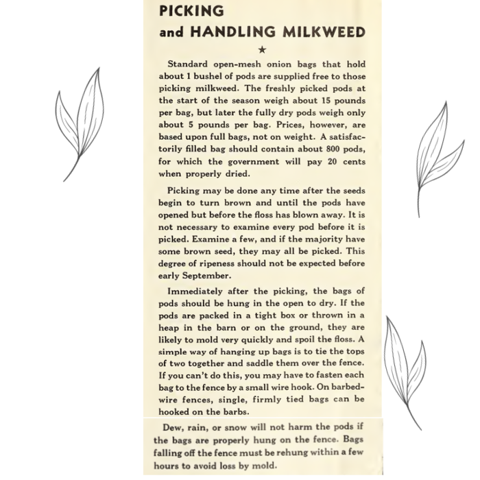 picking milkweed