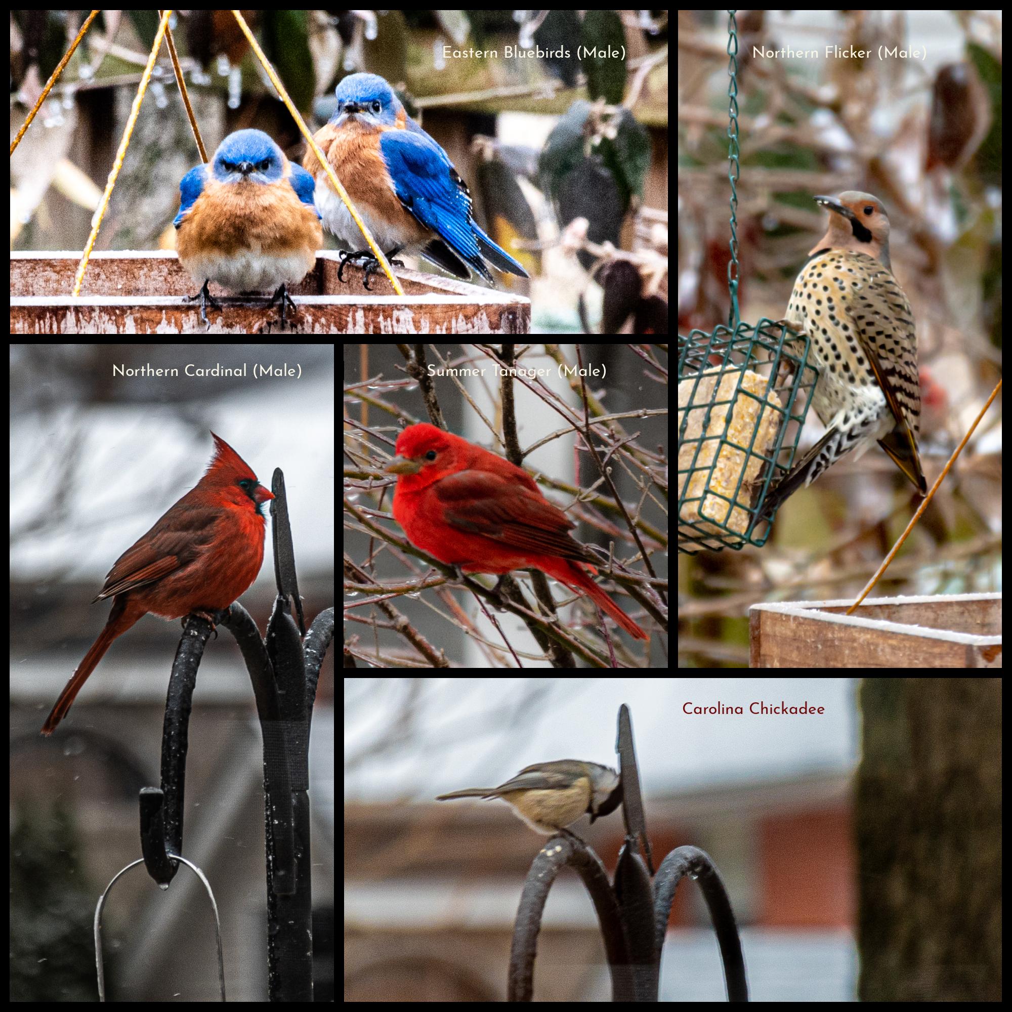 Backyard Bird Count
