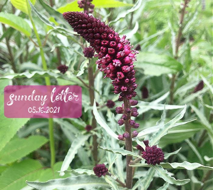 beaujolais flower - sunday letter