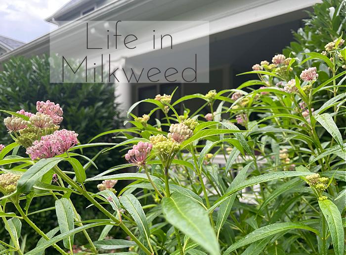 Life in Milkweed